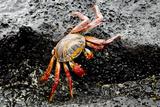 Sally Lightfoot Crab  Floreana  Punta Cormoran  Galapagos  Ecuador