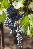 Purple Wine Grapes on the Vine  Napa Valley  California  USA
