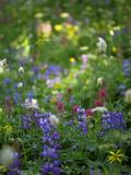 Summer Wildflowers in Mt Rainier National Park  Washington