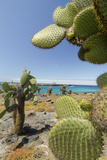 Giant Prickly Pear Cactus  South Plaza Island  Galapagos  Ecuador