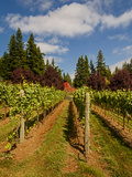 Winery and Vineyard on Whidbey Island  Washington  USA