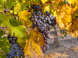Grapes in Red Mountain Vineyard in Yakima Valley  Washington  USA