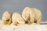 Polar Bear with Two 2-Year-Old Cubs  Bernard Spit  ANWR  Alaska  USA