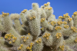 Close-Up of Cholla Cactus  Joshua Tree National Park  California  USA