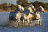 White Camargue Horses Running in Water  Provence  France