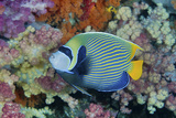 Underwater Scenic of Angelfish and Coral  Raja Ampat  Papua  Indonesia
