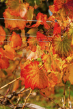 Fall Color in a Vineyard  Tri Cities  Washington  USA