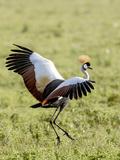 Grey Crowned Crane Dancing  Ngorongoro Crater  Tanzania