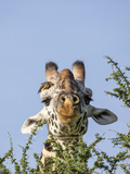 Maasai Giraffe with Red-Billed Oxpecker Above Eye  Serengeti  Tanzania