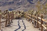 Trail into the Cholla Cactus Garden  Joshua Tree NP  California  USA