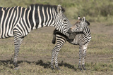 Burchell's Zebra and Foal  Serengeti  Tanzania