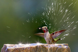 Anna's Hummingbird Taking a Shower  Santa Cruz  California  USA