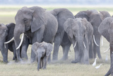 African Bush Elephant Herd, Amboseli National Park, Kenya Papier Photo par Martin Zwick