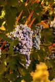 Grapes in Red Mountain Vineyard in Yakima Valley  Washington  USA
