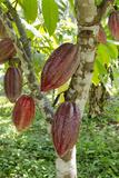 Ripe Red Cacao Pods  Agouti Cacao Farm  Punta Gorda  Belize