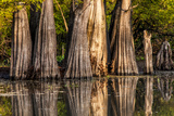 Bald Cypress in Water  Pierce Lake  Atchafalaya Basin  Louisiana  USA