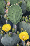 Prickly Pear Cactus Blossoms  Asheville  North Carolina  USA