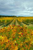 Autumn in Leonetti Vineyard  Walla Walla  Washington  USA
