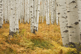 Aspens in White River National Forest Colorado  USA