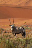 Gemsbok and Sand Dunes  Namib-Naukluft National Park  Namibia