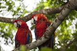 Scarlet Macaw (Ara Macao) Wild  Chiapas State  Mexico