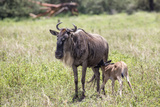 A Wildebeest and Calf  Ngorongoro Crater  Tanzania