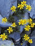 Dwarf Mountain Butterweed  North Cascades NP  Washington  USA