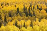 Aspen Trees  White River National Forest Colorado  USA