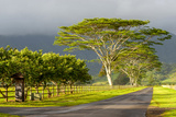 Old and New Trees in the Moloa'A Forest Reserve  Kauai  Hawaii  USA