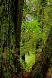 Mossy Redwoods in Orick  California  USA