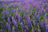 Lupine  Clallam County  Washington  USA