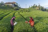 Girls Collecting Tea in Field in Rize  Black Sea Region of Turkey