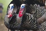 Wild Turkey (Meleagris Gallopavo) Male Strutting  Texas  USA