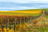 Les Collines Vineyard in Autumn  Walla Walla  Washington  USA