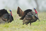 Wild Turkey (Meleagris Gallopavo) Male Strutting  Texas  USA