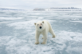 Polar Bear Travels Along Sea Ice  Spitsbergen  Svalbard  Norway