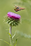 White-Lined Sphinx Moth (Hyles Lineata) Feeding on Thistle  Texas  USA