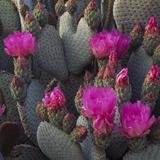 Beavertail Cactus  Joshua Tree National Park  California  USA