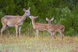 White-Tailed Deer (Odocoileus Virginianus) Doe with Fawns  Texas  USA