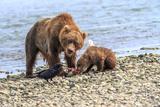 Grizzly Bears  Alaska Peninsula  Alaska  USA