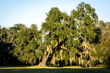 Live Oak with Spanish Moss  Atchafalaya Basin  Louisiana  USA