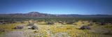 Desert Vegetation with Ocotillo  Joshua Tree Nm  California  USA