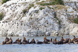Steller Sea Lions  Birds  Shoreline Cliff  Glacier Bay NP  Alaska  USA