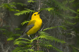 Prothonotary Warbler Male on Breeding Territory  Texas  USA
