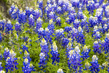 Bluebonnet Wildflowers Near Willow City  Texas  USA