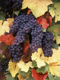Pinot Noir Grape  Close-Up  Willamette Valley  Oregon  USA