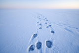 Polar Bear Footprints in the Snow  Bernard Spit  ANWR  Alaska  USA