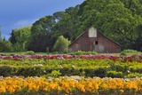 Old Barn and Flower Nursery  Willamette Valley  Oregon  USA