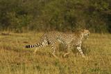 Cheetah on the Move  Maasai Mara Wildlife Reserve  Kenya