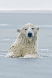 Polar Bear Boar Plays in the Water  Bernard Spit  ANWR  Alaska  USA